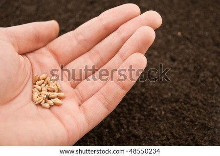 hand and seeds of wheat - stock photo