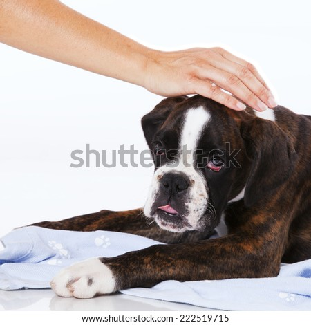 Hand caress a boxer dog at studio - stock photo