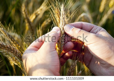 hand checking rye seeds in nature - stock photo