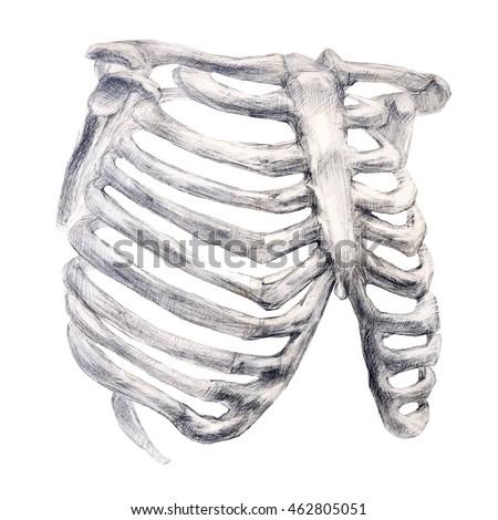 Hand Drawing Bone Skeleton Anatomical Drawing Stock Illustration