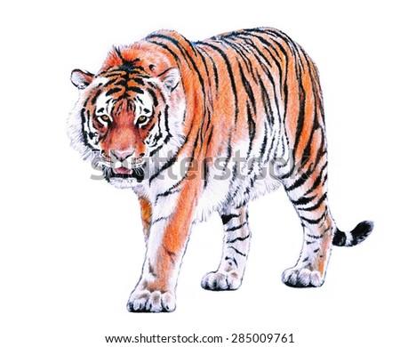 hand drawn bengal tiger color pencil illustration, striped fur zoo animal - stock photo