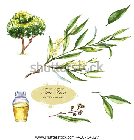 Hand-drawn botanical illustration of the tea tree. Cosmetics and medical plant. Flowers, leaves, branches drawings and oil bottle, isolated on the white background.  - stock photo