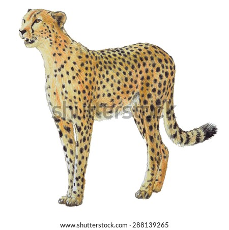 hand drawn cheetah illustration, wildlife or zoo animal, spotted fur, fastest land animal, African safari animal, big African cat, colored pencil art  drawing of cheetah isolated on white background