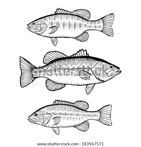 Hand Drawn Illustration of Black Bass (Large Mouth, Small Mouth and Spotted Bass) - stock photo