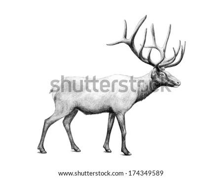 hand drawn image of big elk bull large antlers illustration animal sketch isolated on white background, hunting product website, vintage style wildlife sketch clipart, archery or rifle business card - stock photo