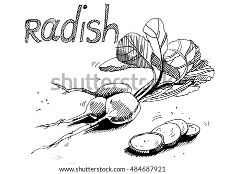 Hand drawn sketch radish vegetable. Eco food background. graphically illustration
