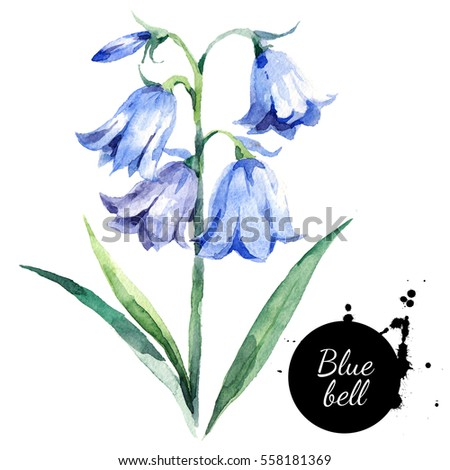 hand drawn watercolor bluebell flower illustration painted bellflower sketch botanical herbs isolated on white background