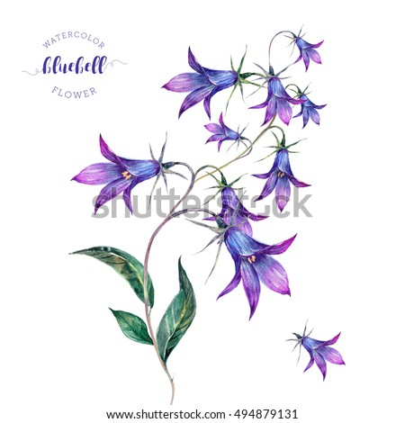hand drawn watercolor meadow wildflower bluebell bellflower isolated on white purple field flowers