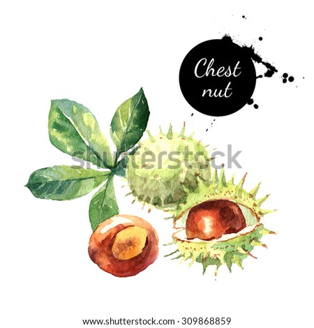Hand drawn watercolor painting of chestnut isolated on white background. Illustration of nut for your design - stock photo