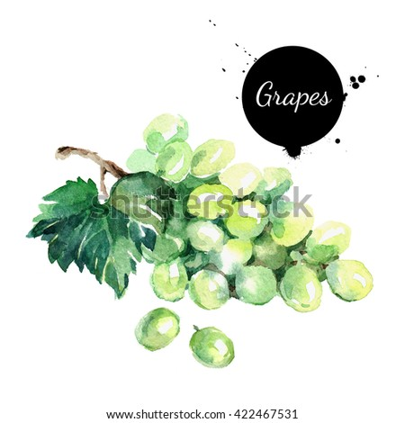 Hand drawn watercolor painting on white background. Organic illustration of fruit grapes - stock photo