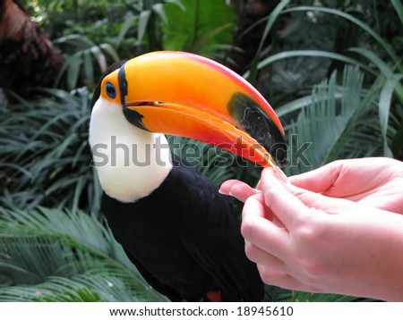 Hand-feed toucan - stock photo