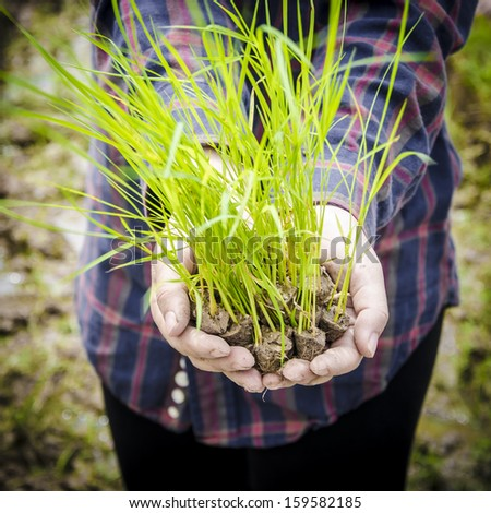 Hand full of seedlings rice plant - stock photo