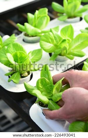 hand harvesting lettuce farm indoor - stock photo