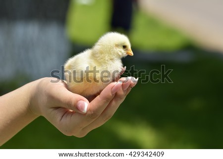 Hand hold caring for a small chicken - stock photo