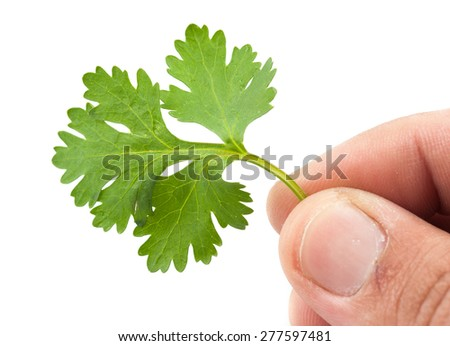 Hand hold Coriander isolated on white