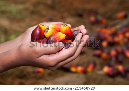 Hand hold palm fruits - stock photo