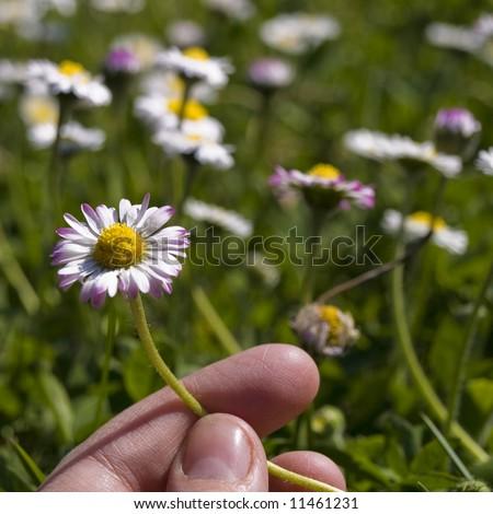 hand holding a daisy - stock photo