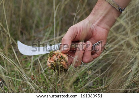 Hand holding a knife and a fresh picked Saffron Milk Cap - stock photo