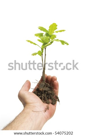 Hand holding a new oak tree with roots. isolated on white. - stock photo