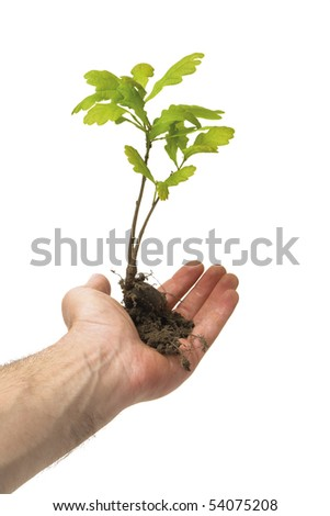 Hand holding a new oak tree with roots. isolated on white.