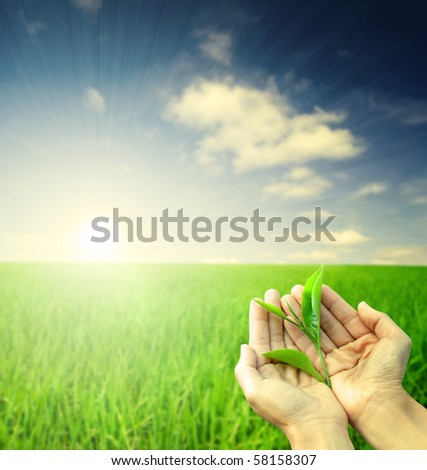 hand holding a piece of green tea leaf during morning sunrise - stock photo