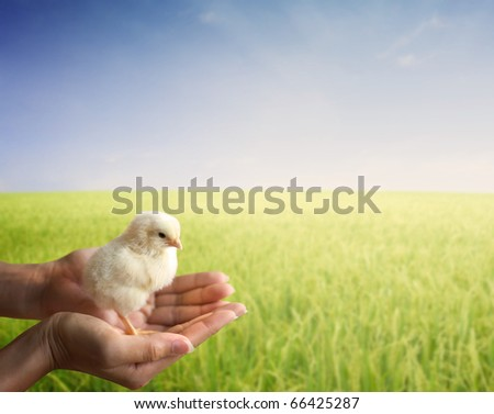 hand holding a young chick early in morning sunrise grass field - stock photo