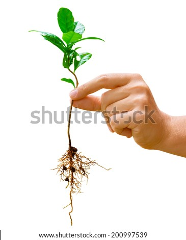 Hand holding a young green plant of coffee with root isolated on white background - stock photo