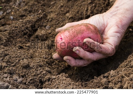 hand holding an organic home grown red skinned potato - stock photo
