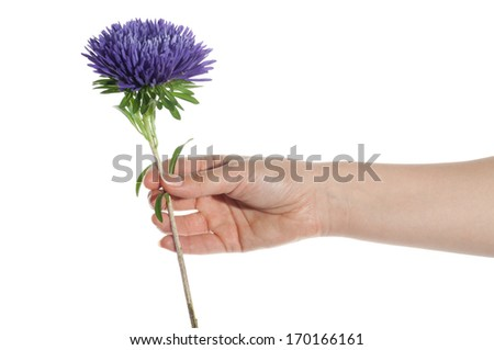 Hand holding blue chrysanthemum isolated on white