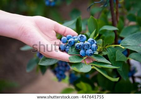 Hand holding bunch of blueberries.Blueberry bush. Vaccinium corymbosum. Northern highbush blueberry. - stock photo