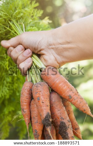 Hand holding bunch of fresh organic homegrown carrots harvested from garden with dirt - stock photo