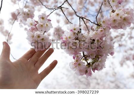 Hand holding cherry blossoms. Washington DC march 2106. Tidal basin - stock photo