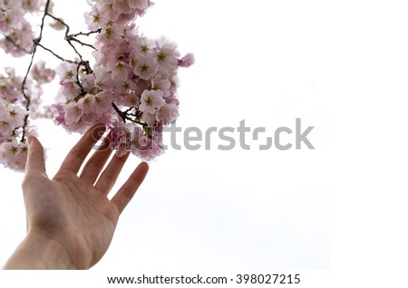 Hand holding cherry blossoms. Washington DC march 2106. Tidal basin isolated on white background - stock photo