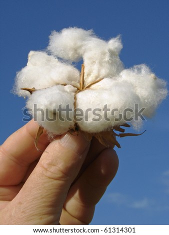 hand holding cotton boll against blue sky - stock photo