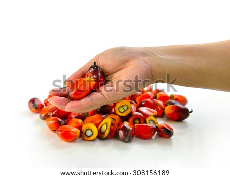 Hand holding fresh oil palm fruits isolated on white background, selective focus.  - stock photo