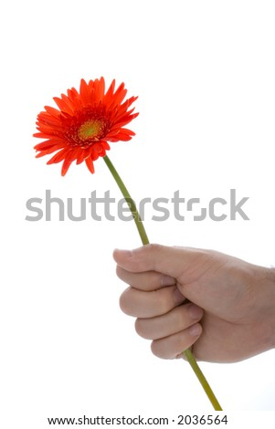 Hand holding gerbera flower against white background