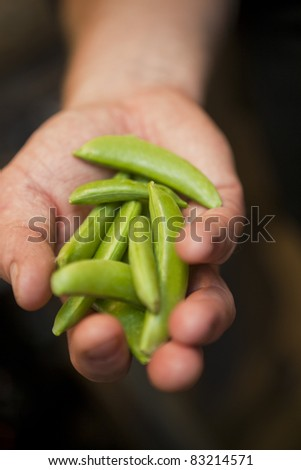 Hand holding Green Pea Pods - stock photo
