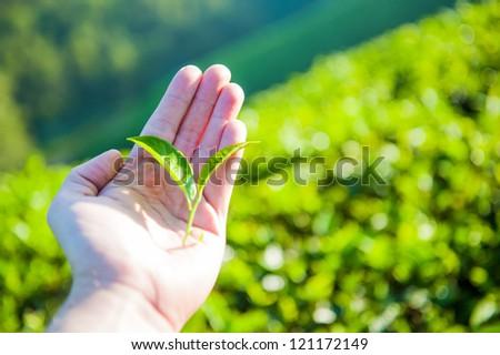 Hand holding green tea leaf - stock photo