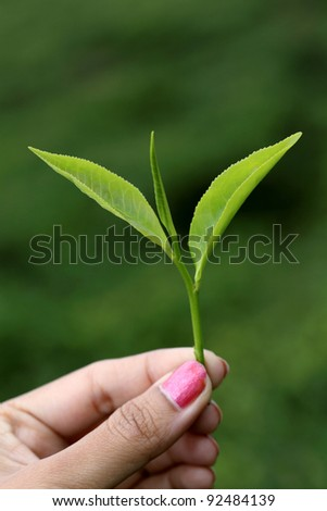 Hand holding green tea leaf against green - stock photo