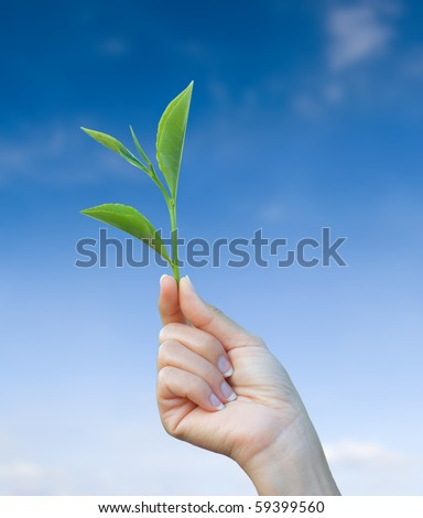 hand holding green tea leaf with blue sky background - stock photo