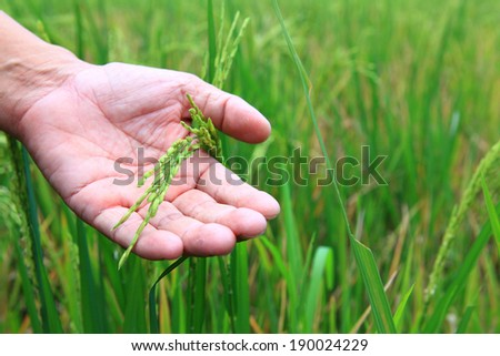 hand holding harvested paddy  field