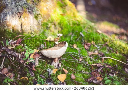 Hand holding Leccinum scabrum with brown cap growing in wild forest in Latvia. Edible mushroom growing in nature. Botanical photography.   - stock photo