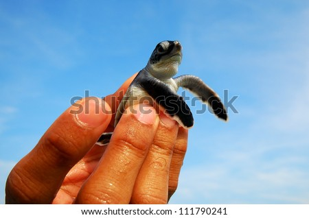 Hand holding newly hatched baby turtle - stock photo