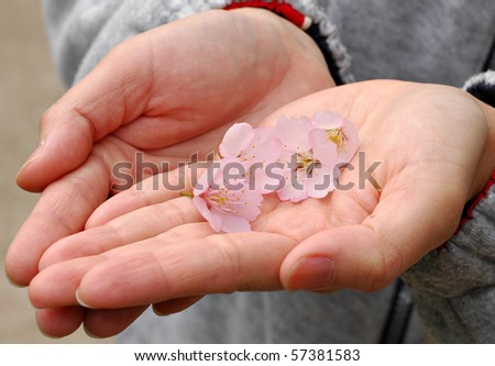 Hand Holding out Cherry Blossoms as a Gift - stock photo