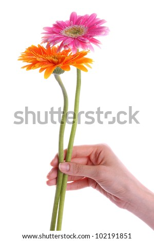 Hand holding pink and orange gerber daisy isolated on white - stock photo