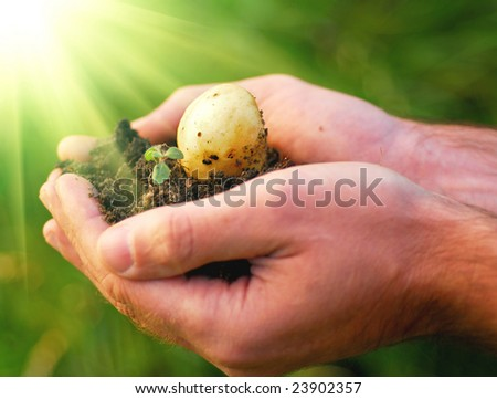 Hand holding plant, potato seed - stock photo