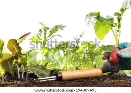 Hand holding red radishes in the garden - stock photo