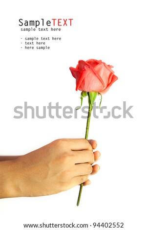 Hand holding rose flower, isolate on white background - stock photo