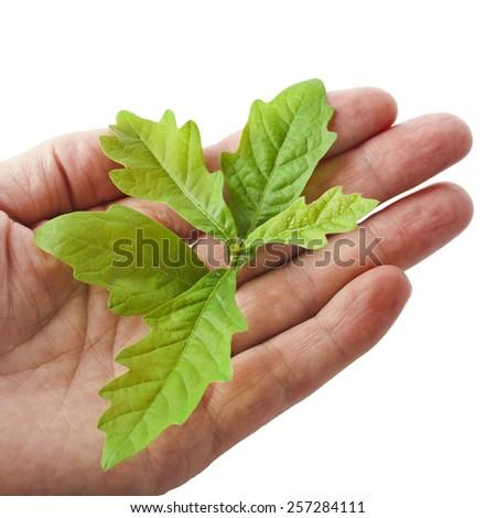Hand holding sapling isolated on white background - stock photo