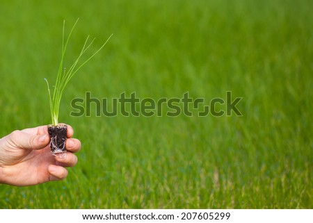 Hand holding seedlings - stock photo